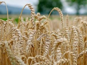 a field of mature wheat