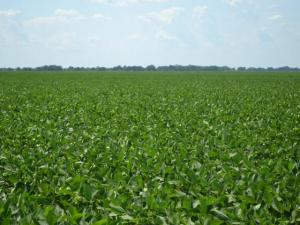 soybean field with blue sky above