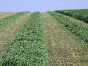 alfalfa, forages