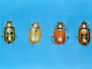 Bean leaf beetle variation