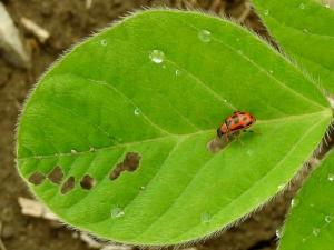 red-phase bean leaf beetle with spots on soybean trifoliate