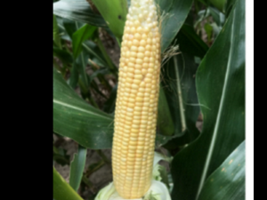 Ear of corn for estimating yield