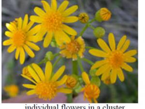 cressleaf groundsel flowers