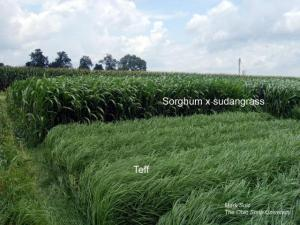 Sorghum-sudangrass and Teff