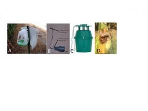 Caption:  A) milk jug (picture from Iowa State University), B) lure setup for placement on milk jug, C) green buck trap D) WBC larvae feeding and damage.