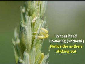 wheat head flowering