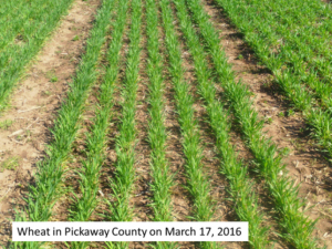 Winter wheat progress 3-7-16