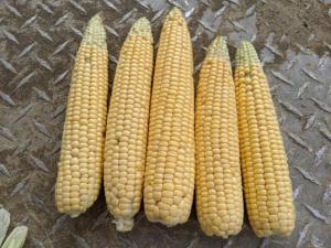 Corn ears for yield estimates.