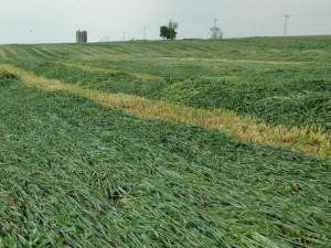 cereal rye in swaths