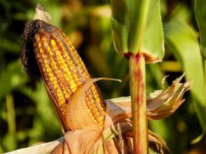 Corn ear in field.
