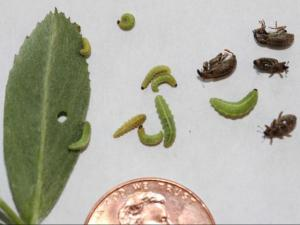 Green alfalfa weevil larvae (the main feeding stage) at various growth stages