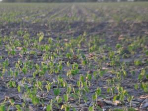 Soybean Fields in Northwest Ohio June 22, 2015