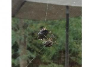 A brown marmorated stink bug caught in spider web
