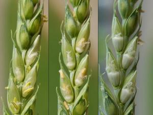 Anthesis (flowering) vs. Early Grain-fill