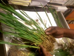 Identifying wheat stages