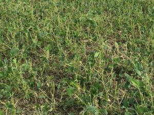 hail damage to soybean field, photo by Mark Badertscher, Extension Educator Hardin County