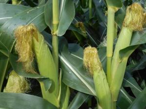 Developing corn ears