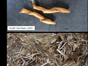 Figure A & B. Soybean pods curling after shattering and Soybean harvest losses in 2012 after shatter