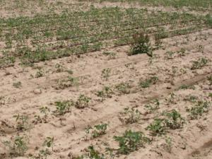Seedcorn maggot damage that reduced soybean stand