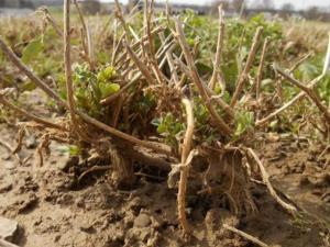 Heaved alfalfa