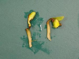 The watermolds, Pythium or Phytophthora, affecting soybeans