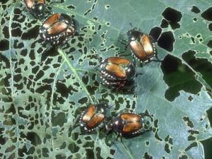Multiple Japanese Beetles