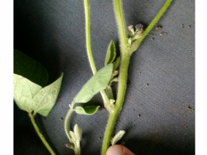 R3 Stage Soybean