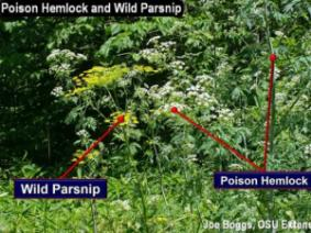 Poison hemlock (Conium maculatum L.) and wild parsnip (Pastinaca sativa L.) are combined in this report because these invasive non-native weeds are increasingly found growing together in Ohio.  However, the defense chemicals of these weeds are very different and have vastly different modes of action.  This is important to understand relative to management options as well as medical treatments for exposure to these highly dangerous weeds.