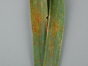 Leaf rust