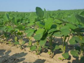 field of soybean seedlings