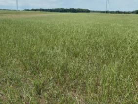 Damaged Alfalfa Field