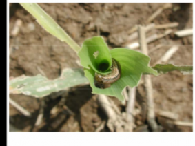 Armyworm in Corn Whorl