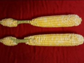 Unusual Ears Appearing in Corn Fields