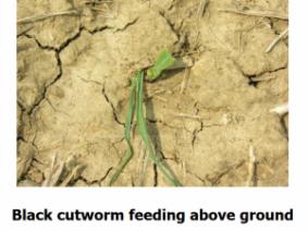 black cutworm feeding above ground