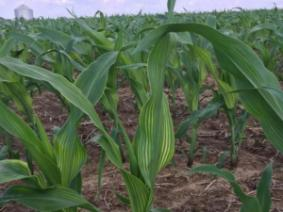 Interveinal leaf striping often variable across fields. Source: B. McDonald, 2018