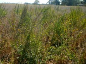 The Ohio Noxious Weed Law - A Tool in the Prevention of Waterhemp and Palmer Amaranth