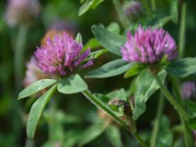 close up image of red clover