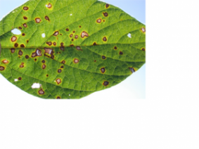 Frogeye leaf spot