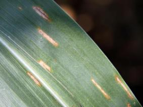 close up image of corn leaf with gray leaf spot lesions