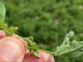 Alfalfa Weevil larvae and feeding injury. Putnam Co (4/14/2021)