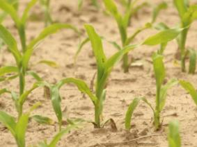 Getting Corn Off to a Good Start - Planting Depth Can Make a Difference