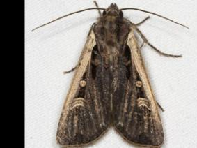 Western bean cutworm adult
