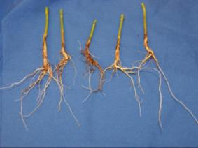 Roots from plants exhibiting flooding symptoms
