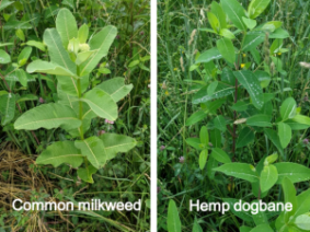 Common milkweed plant on the left and hemp dogbane plant on the right