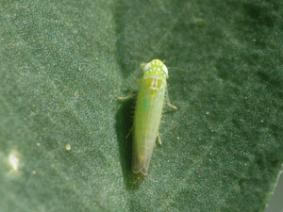 Adult Potato Leafhopper on an Alfalfa leaf.