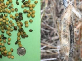 Late season rains impacted seed quality