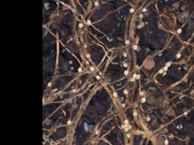 Soybean cyst nematodes