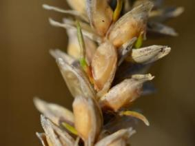 a close up image of wheat head exhibiting early sprouting