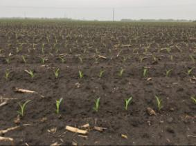 Wet spring corn planting