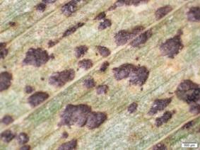 Fruiting bodies of corn disease tar spot